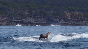 Seal takes a ride on teh back of a humpback whale